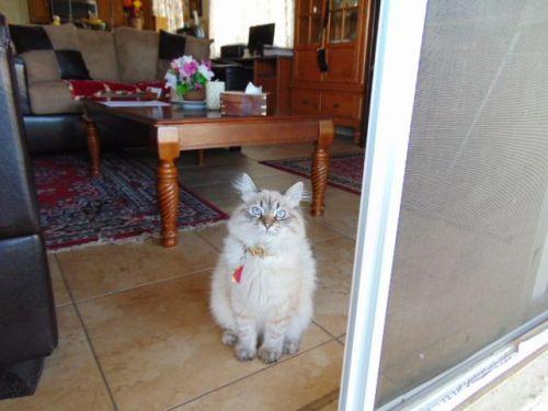 Siberian Cats for sale in Las Vegas, NV, USA. price 950USD