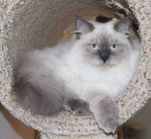Siberian Cats for sale in New York, NY, USA. price 250USD