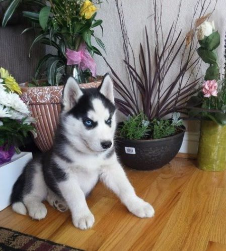 husky puppies for sale in texas siberian husky puppies for sale houston tx 192824 9375