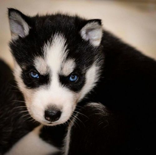 Image Result For Siberian Huskies For Sale In Orlando Florida