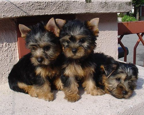 silky terrier dogs