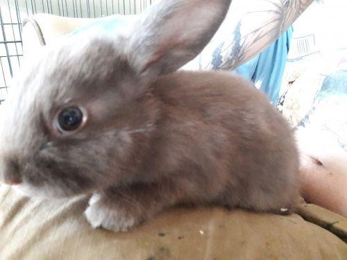Silver Fox rabbit Rabbits for sale in Zanesville, OH 43701, USA. price 30USD
