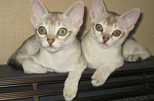 singapura kittens