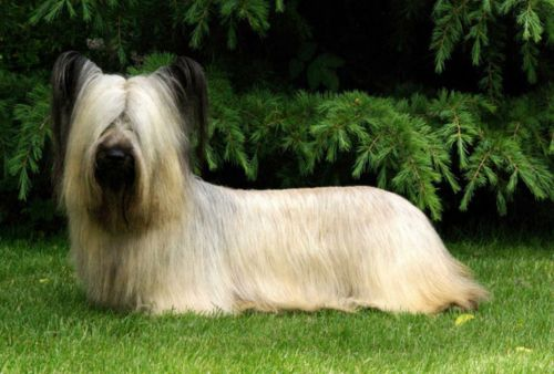 skye terrier dog