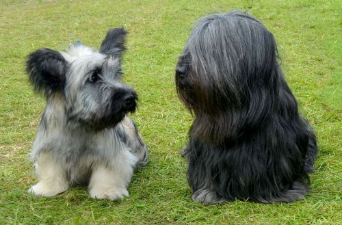 skye terrier puppies