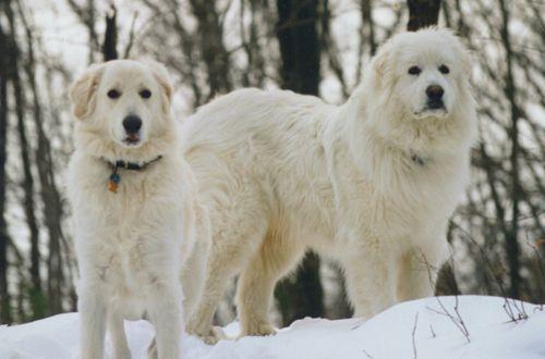 slovak cuvac dogs