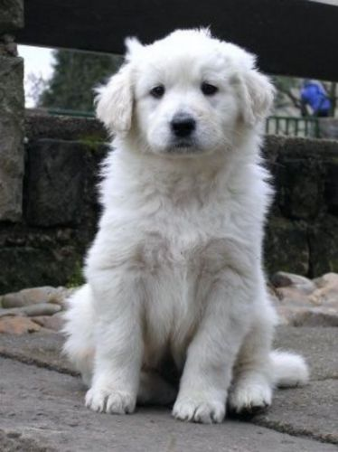 slovak cuvac puppy