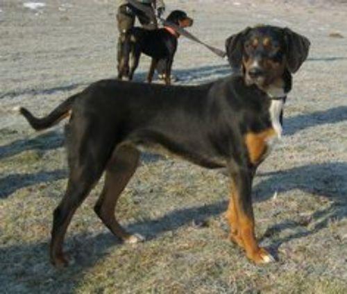 slovakian hound dogs