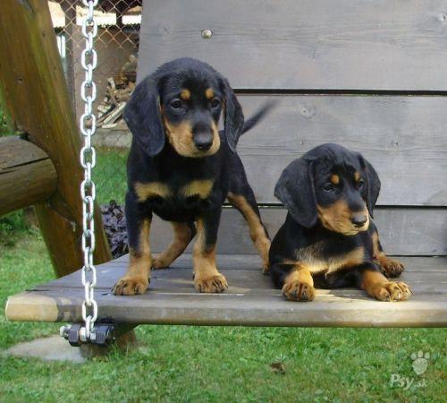 slovakian hound puppies