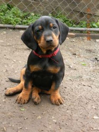 slovakian hound puppy