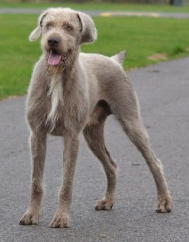 slovakian rough haired pointer dog