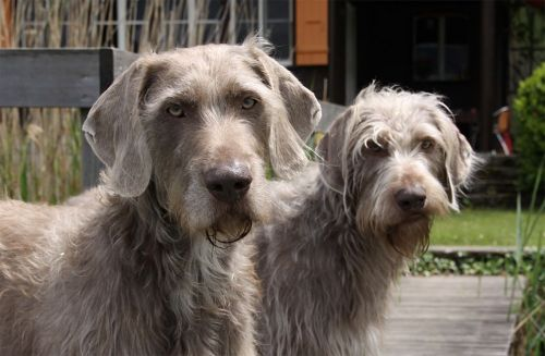 slovakian rough haired pointer dogs