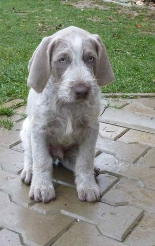 slovakian rough haired pointer puppy