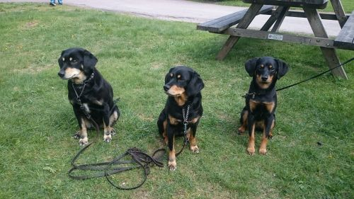 smalandsstovare dogs