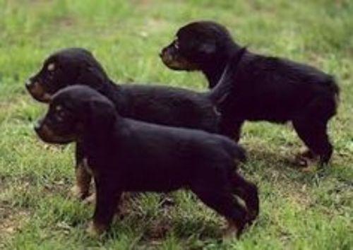 smalandsstovare puppies