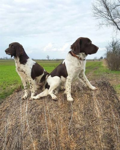 small munsterlander dogs