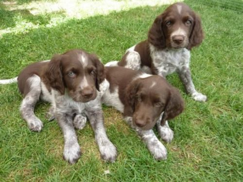 small munsterlander puppies