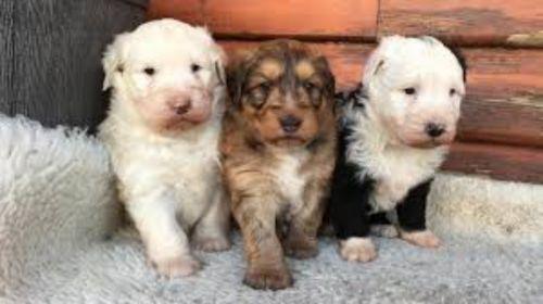 smithfield puppies