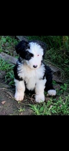 smithfield puppy