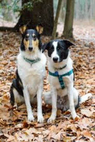 smooth collie dogs