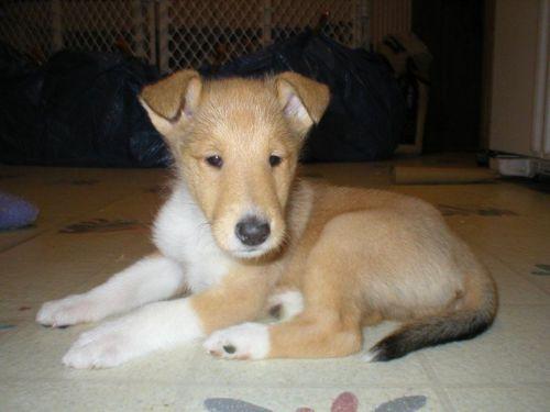 smooth collie puppy