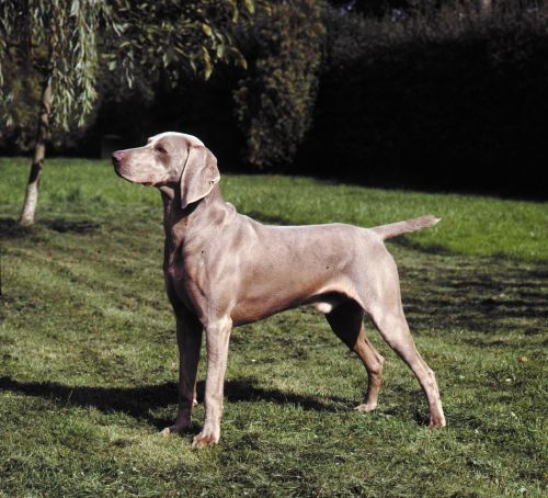 smooth haired weimaraner