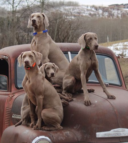 smooth haired weimaraner dogs