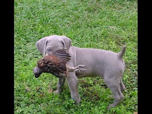 smooth haired weimaraner puppy