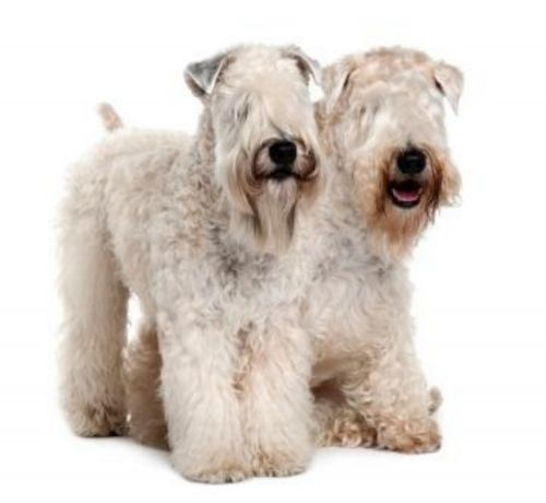 soft coated wheaten terrier dogs