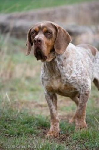 spanish pointer