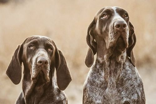 spanish pointer dogs