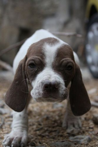spanish pointer puppy