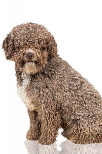 spanish water dog dog