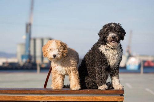 spanish water dog dogs