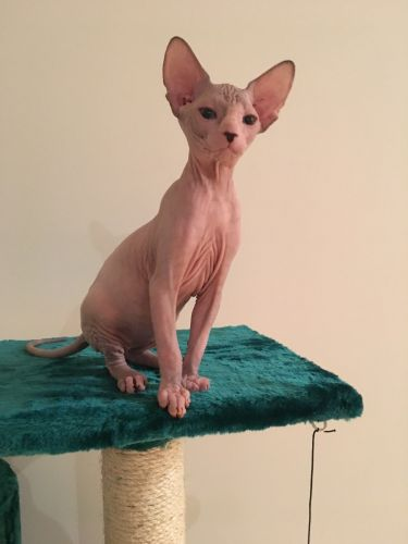 Sphynx Cats for sale in 1510 Lexington Ave, New York, NY 10029, USA. price 1200USD