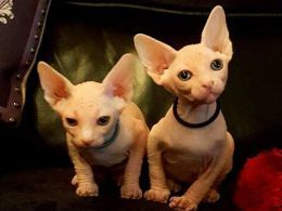 Sphynx Cats for sale in Billings Dr, Normal, IL 61761, USA. price 500USD