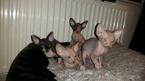 Sphynx Cats for sale in Columbus, OH 43085, USA. price 450USD