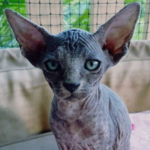 Sphynx Cats for sale in Chicago, IL, USA. price -USD
