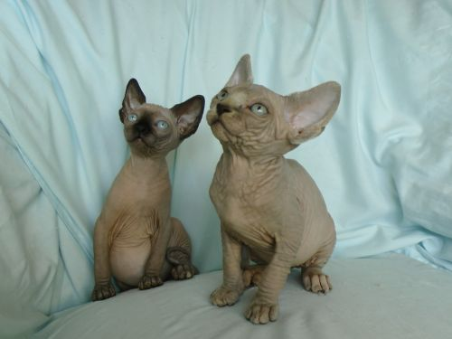 Sphynx Cats for sale in Staten Island, NY, USA. price -USD
