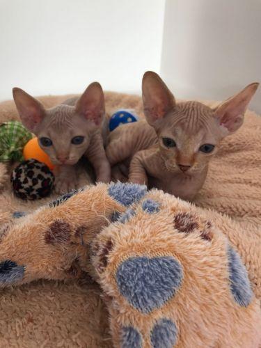 Sphynx Cats for sale in Virginia Beach, VA, USA. price -USD