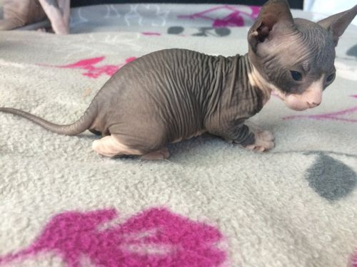 Sphynx Cats for sale in Long Beach, CA, USA. price 1800USD