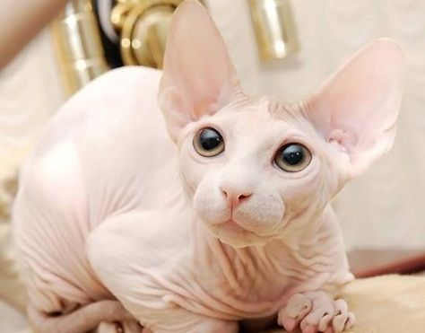 Sphynx Cats for sale in FL-436, Casselberry, FL, USA. price -USD