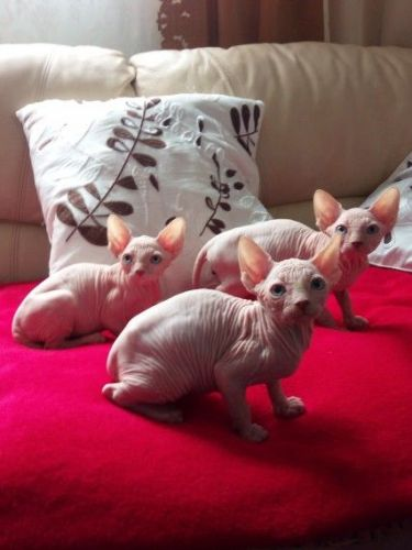Sphynx Cats for sale in Los Angeles, CA 90001, USA. price 500USD