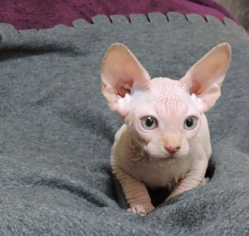 Sphynx Cats For Sale | Lewis Center, OH #200810 | Petzlover