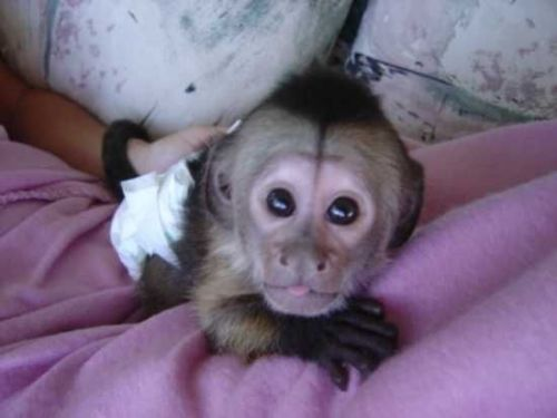 Spider Monkey Animals for sale in Lake Trail Dr, Kenner, LA 70065, USA. price -USD