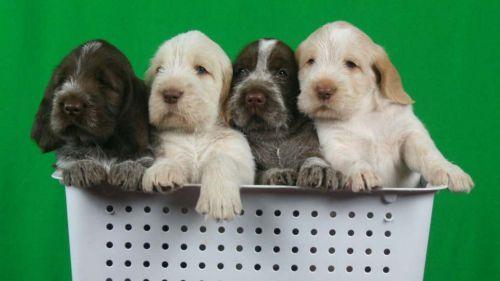 spinone italiano puppies