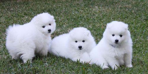 spitz puppies