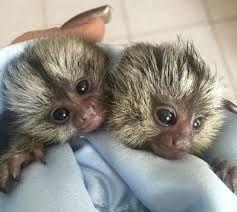 Squirrel Monkey Animals for sale in UT-175, South Jordan, UT 84095, USA. price -USD