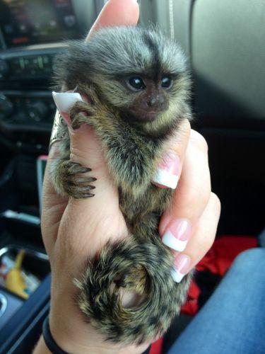 Squirrel Monkey Animals for sale in Atlanta, GA, USA. price 500USD