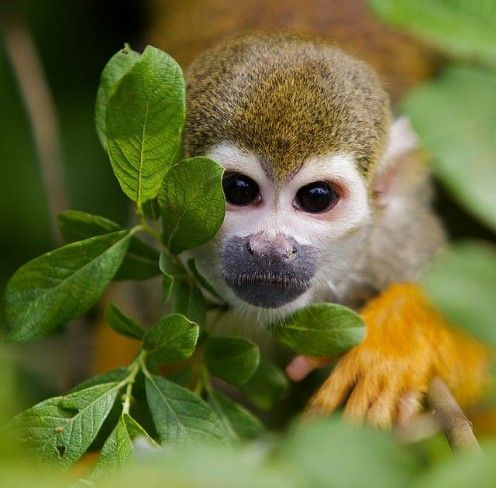Squirrel Monkey For Sale
